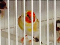 Mutation goldfinches for sale