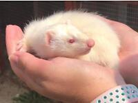 Baby albino ferret kits