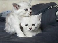 Exotic silver tabby kittens/ tabby persian