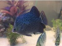 Brackish Water Fish Red Scats, to big for tank, URGENTLY need a new home!