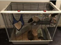 Two pet rats and cage