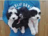 springerpoo/Sproodle puppies for sale