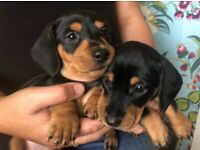 Miniature Black and Tan Dachshund puppies for sale