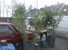 bamboo plants make a good coverage 8ft tall £110