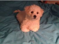 Cute Bichon Frise puppies