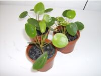 CHINESE MONEY PLANTS (INDOOR PLANT) SEE PICTURES