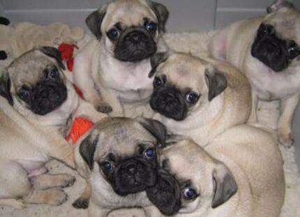 Pug puppies for sale  Logan Village Logan Area Preview