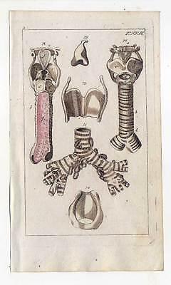 Kehlkopf-Luftröhre-Anatomie-Medizin - Kupferstich 1810 G. T. Wilhelm