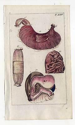 Organe-Anatomie-Medizin - Kupferstich 1810 G. T. Wilhelm