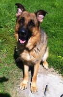 "Adult Male Dog - German Shepherd Dog: ""Rocco"""