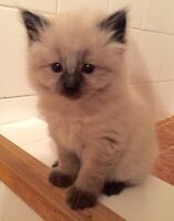 Seal Point Siamese Cross Kittens For Sale! ONLY 1 LEFT!