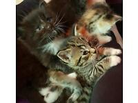 Stunning kittens for sale ready to leave now!