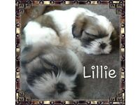 Shih tzu Puppies READY NOW