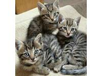 Bengal kittens need a home!