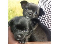 For Sale Chihuahua X puppies