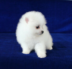 High quality mini white Pomeranians for sale