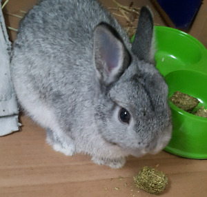 Pure Netherland Dwarf Rabbits for rehome