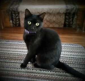 """Bella"" - Gorgeous Black Cat looking for a family of her own"