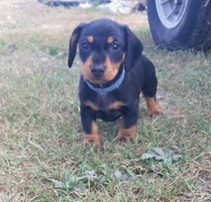 Mini dachshund male