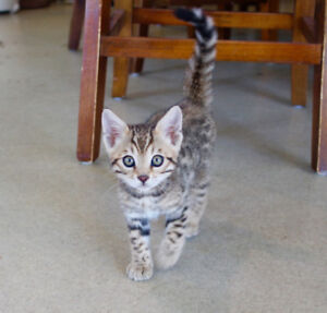 Bengal Kitten Available - TICA Registered!