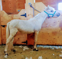 AMHA/AMHR Miniature Yearling Filly