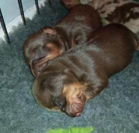 2 choc and tan dachshund.