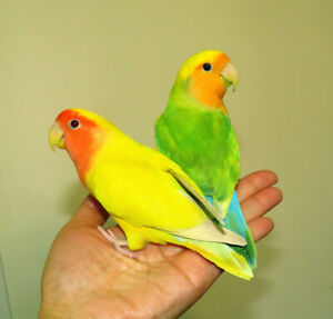 proven, young, hand raised breeding pair of lovebirds==SOLD