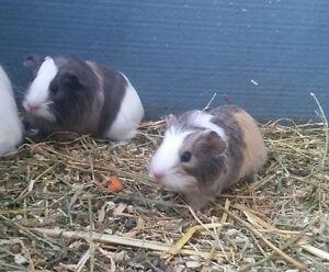 Female Guinea pigs. Medowie Port Stephens Area Preview