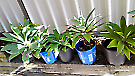 Potted & unpotted Agave plants, many different sizes