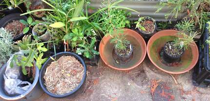 Wide range of native Australian bush food and medicine plants Mayfield West Newcastle Area Preview