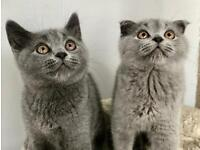 ❤️ Vaccinated British Shorthair Kittens Pedigree BSH Cats Viewings Welcome