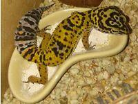 Fantastic leopard gecko 7months with full set up. Starter?