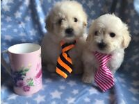 Maltipoo Maltese Poodle puppy small nonmoulting dog cute teddy bear pups unusual very Cute fluffy