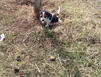 Chiot pocket beagle