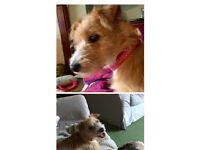 Pomeranian/Jack Russell cross