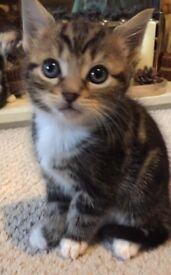 Cross tabby kittens ready now