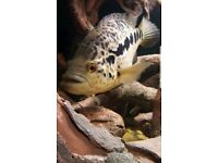 Various LARGE Tropical Freshwater Fish from £10