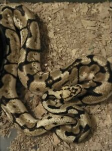 8 Ball Pythons - $600 for all