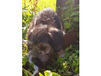 READY NOW! Lovely Bedlington x Jack Russell puppies