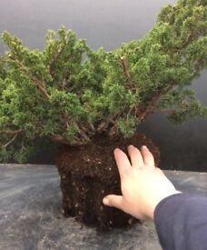 Quality Shimpaku Juniper Wood Raw Bonsai Material