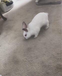 Lovely bunny for sale