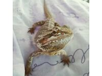 Female Bearded Dragon needs rescuing from cohabiting situation