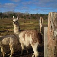 Sweet natured Llama for sale