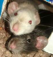 2 rats free to a good home