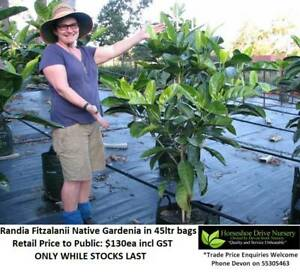 Native Gardenia Randia Fitzalanii 45 ltr Bags - Feature Tree Mudgeeraba Gold Coast South Preview