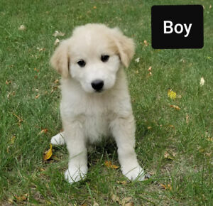 Golden Reteiver Border Collie Cross Puppies Excellant Family dog