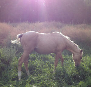 Almost FREE! 2 Reg AQHA stud colts! VERY Well BRED! Strathcona County Edmonton Area image 4