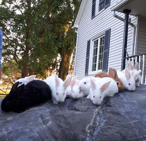 Flemish Giant/ New Zealand White Baby Rabbits
