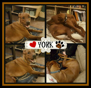 I'M YORK, I'M  A LOVING BOY AND NEED A FOSTER/FOREVER HOME