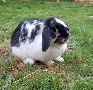 Junior Holland lop bunny